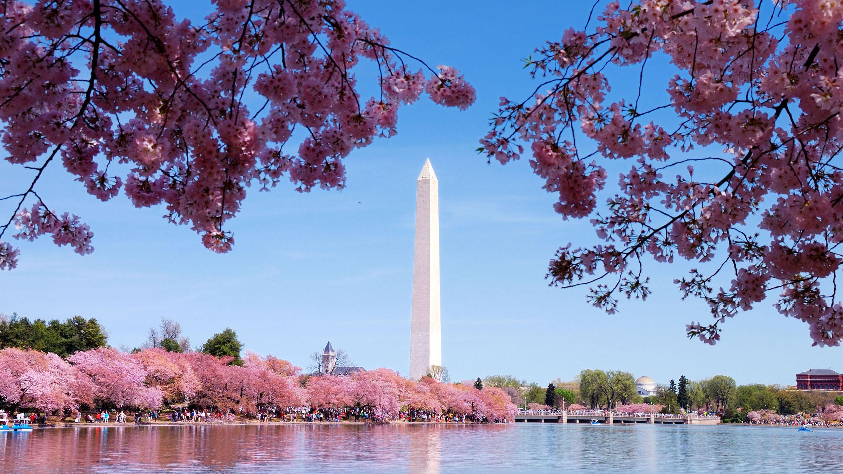 Washington Monument During Cherry Blossom Season, Washington DC, United States